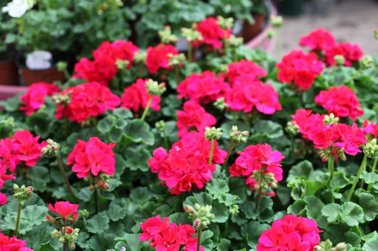 Love this deep red colour on Geranium. Perfect for pots and containers. www.thepavilion.ie