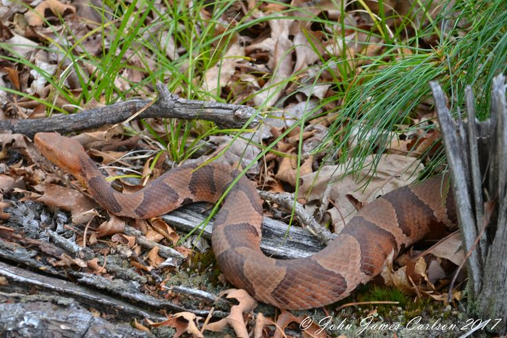 northern copperhead map - 735×490