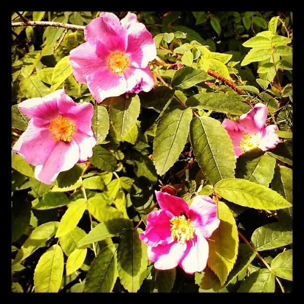 Rock Roses, Palmer, Alaska: ᗩᒪᗩᔕKᗩ ᗰI ᕼOᗰE, Favorite Place, Frontier Alaska, Beautiful Gardens, Rocks Roses, Mes Photos