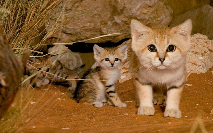 This is the Sand Cat: the only wild cat where the adults look like kittens, and the kittens look like... smaller kittens.