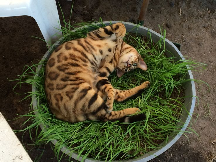 Bengal cat Zeus....I think he likes his tray of cat grass