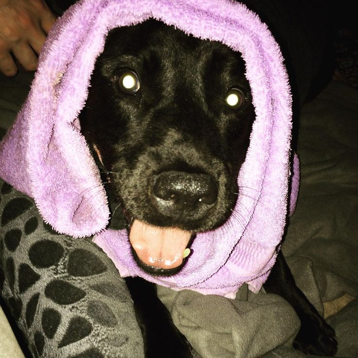 I'm a bit late but here's my Tuckerman last night during 4th of July fireworks. A dose of Benadryl cotton balls in his ears thunder jacket towel over his head and wedged between his humans and he was finally able to calm down.