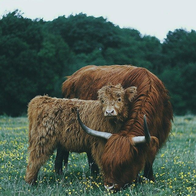 Cow and calf photographed by Remo Jacobs