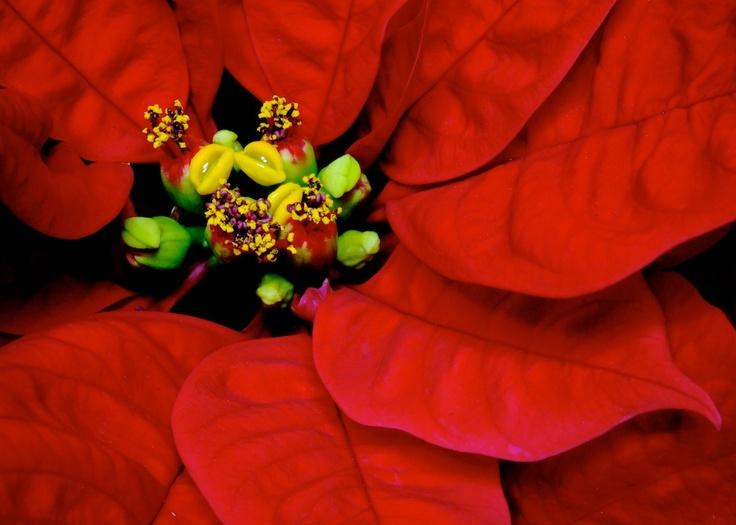 Poinsettia Junk