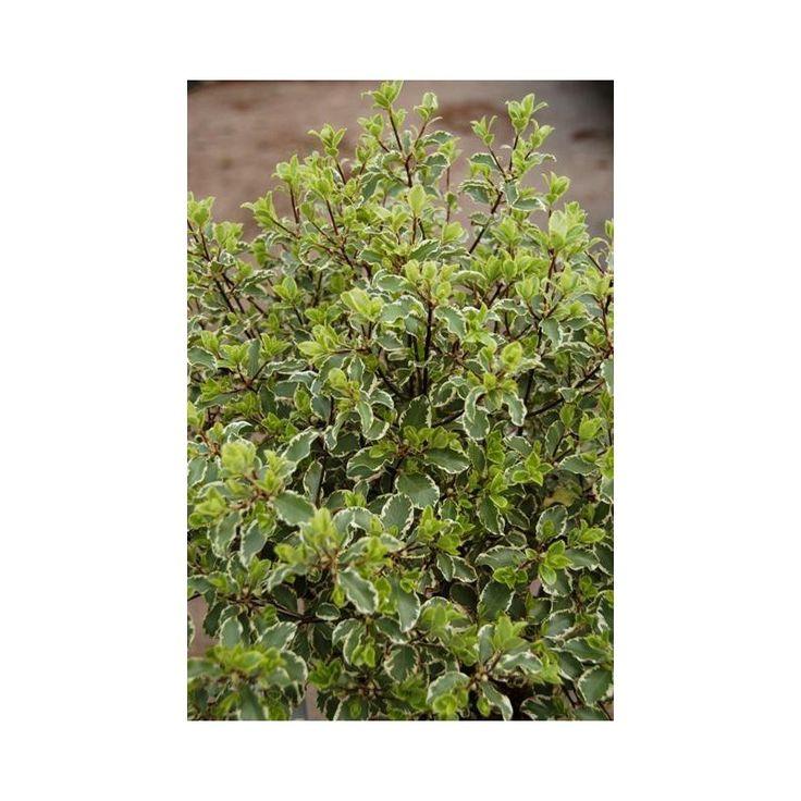 """"""" Merveilleux pour vos bouquets """" Le plus utilisé des variétés de Pittosporum, son feuillage est vert gris marginé de blanc crème. Idéal pour éclairer les endroits sombres du jardin et comme base de feuillage dans vos bouquets. Ses toutes petites fleurs en clochettes d'un violet foncé exhalent une légère odeur de miel."""
