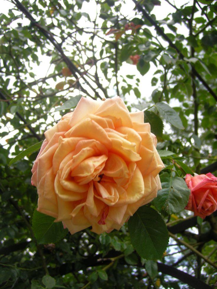 Barrock www.rozenrijk.nl