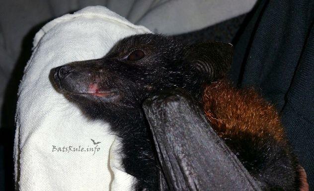 Rescue | #Megabat black female #barbedwire #Flyingfox #Fruitbat  http://www.batsrule.info/2017/08/rescue-megabat-black-female-barbed-wire.html #bats #fledermaus #foxbat #wildlife #wildliferescue