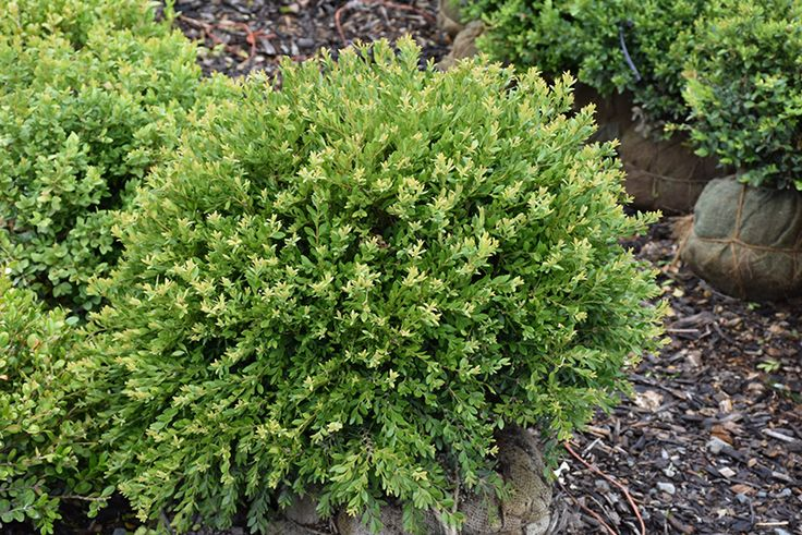 17 Best Ideas About Buxus On Pinterest Buxus Sempervirens Boxwood Topiary And Boxwood Garden