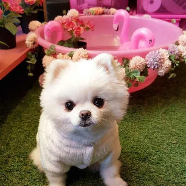 teacup pomeranian pictures