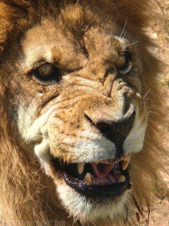 1000 shoes white lion animal roar