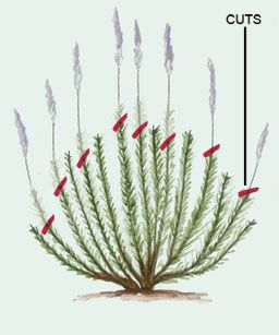 Pruning Subshrubs Lavender Rosemary ~ Don't cut plants like lavender to the
