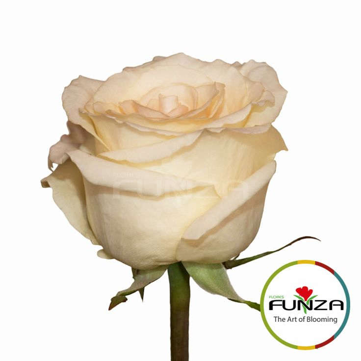 White Rose from Flores Funza. Variety: Pegasso, Availability: Year-round