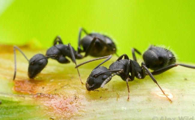 How To Get Rid Of Carpenter Ants You Can Carpenter Ant