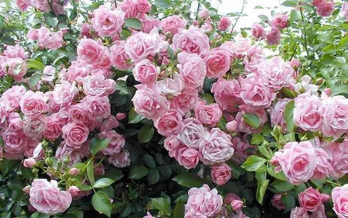 Уход за розами осенью   цветник