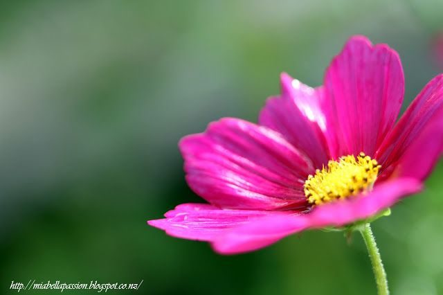 Mia Bella Passions: Photography-  Cosmos flower by Tracey Lee Cassin.