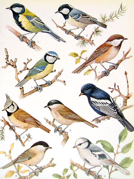 Bird Print - True Tits - 1972 Vintage Bird Print - 2 Sided Page from Encyclopedia