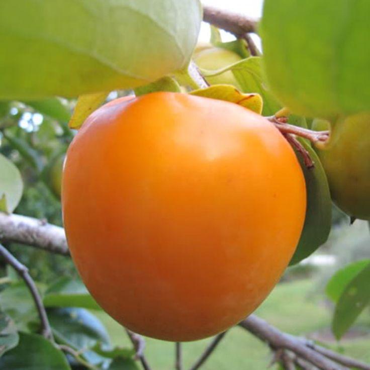 Tanenashi Persimmon Tree