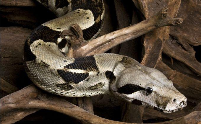 ボアコンストリクターの生態と飼育方法を紹介 性格や危険性 モルフ 寿命はどのくらい Woriver ボアコンストリクター ペットショップ ペット