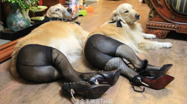 Dogs Wearing Pantyhose, A Popular New Meme in China http://avaxnews.net/funny/dogs_wearing_pantyhose_a_popular_new_meme_in_china.html #avaxnews.net #fanny #animals