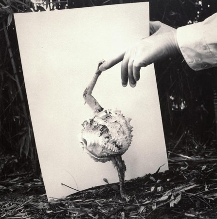Fauna series, Alopex Stultus, 1986, joan fontcuberta   Scientist encounter with shy clam that could shake hands