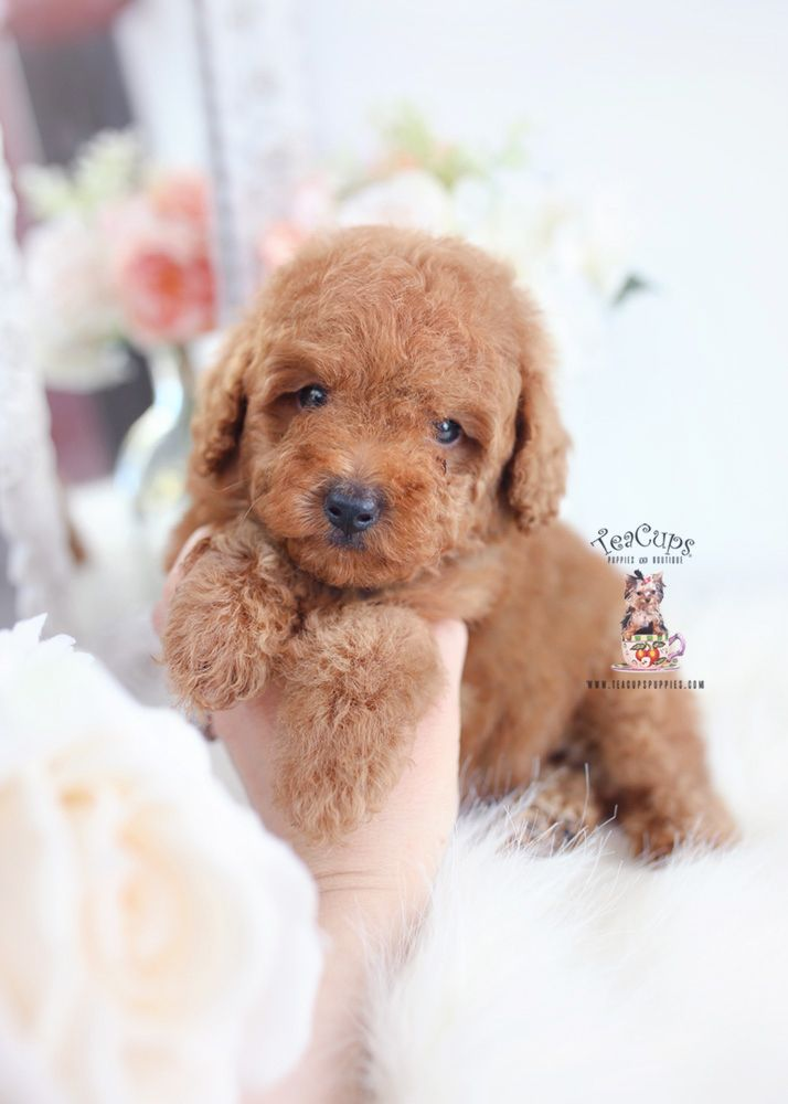 Apricot Toy Poodle Breeder Teacups Puppies Boutique Toy