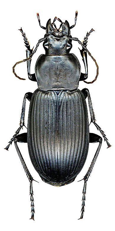 Diplocheila (Isorembus) zeelandica (Redt.)