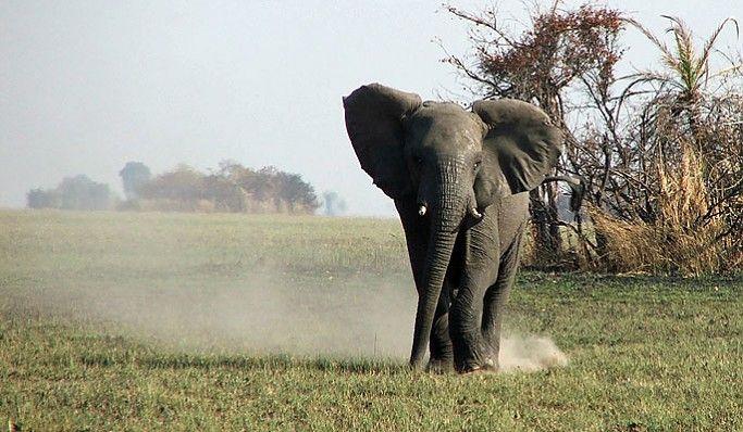 Elephant close to Busanga Bush Camp