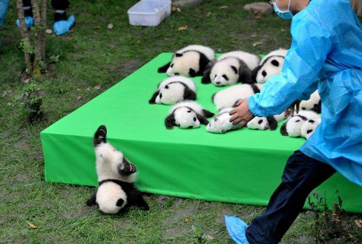 Este pequeño panda acaba de sufrir un pequeño percance durante su presentación en el centro de pandas gigantes de Chengdu, China (China Daily, 2016)