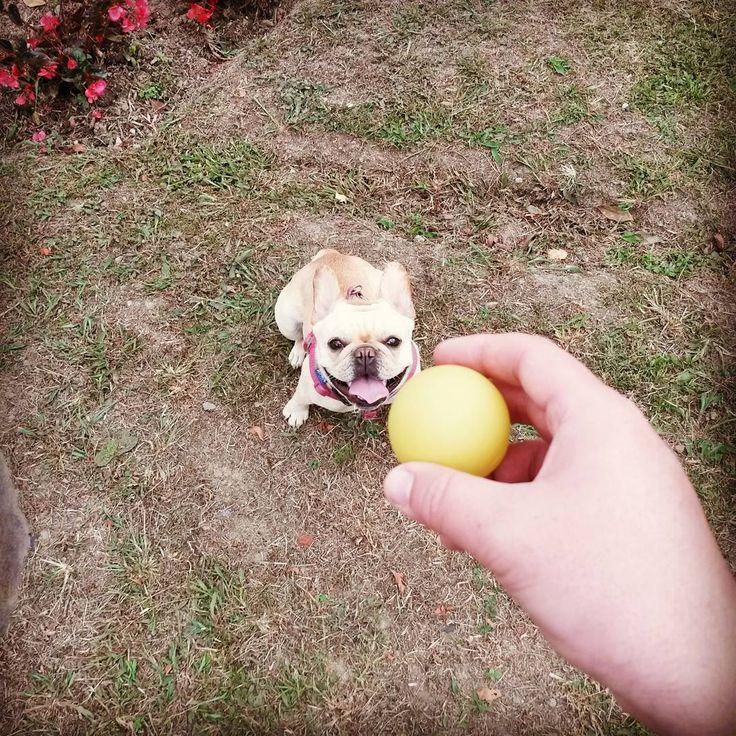 Playing with Dad.  @jjhonjaimes @hannabruges # papá #dad #play #finca #ball #pelota #frenchbulldog #frenchie #french  # Bulldog #happy #pet #dog #animalplanet