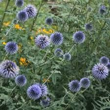 Image result for echinops bannaticus