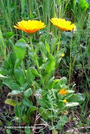 planta entera de calendula o maravilla con flores y hojas