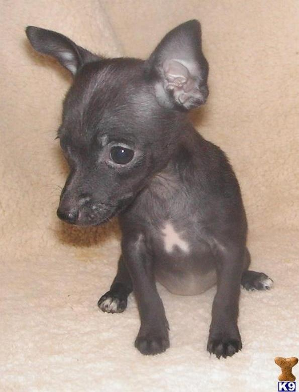 482 best rat puppies images on pinterest   rat terriers, rats and
