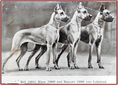 CH Rungnir v Loheland (Mungo v Loheland x Nepa v Loheland) Born 1933. Litter brother to famous RS36 Riese v Loheland.        Rungnir (far right in the above picture) - not only were both of his grandfathers full brothers (Ch Elch Edler vd Saalburg and CH Dolf vd Saalburg) but Rungnir's mother (CH Nepa v Loheland) was the product of a father/daugher breeding - CH Dolf vd Saalburg x Ch Ferguni v Loheland.        I believe that Rungnir was sold to US Warrendane.