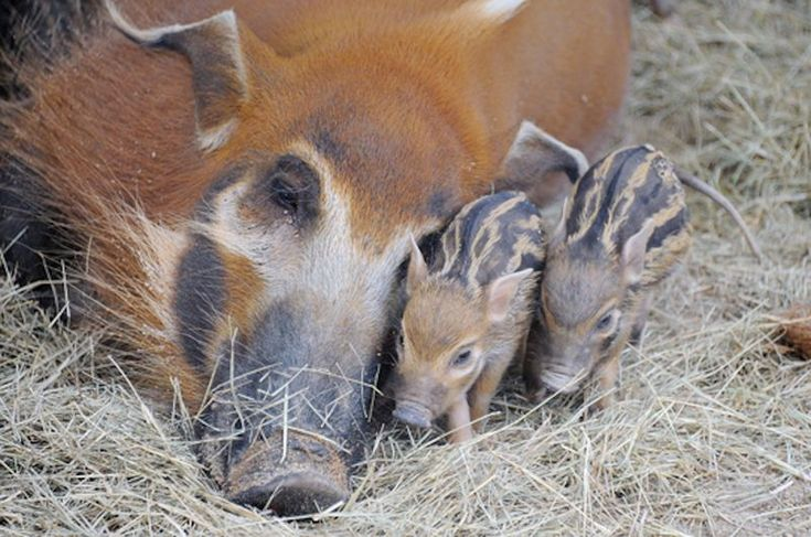 3 hog