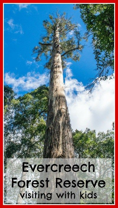 "The Evercreech Forest reserve in Tasmania.  Home to the ""White Knights, the tallest white gums in the world!  #tasmania #evercreech"
