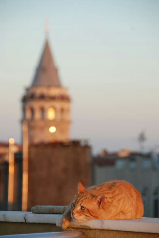 Cat and Galata Tower, Istanbul