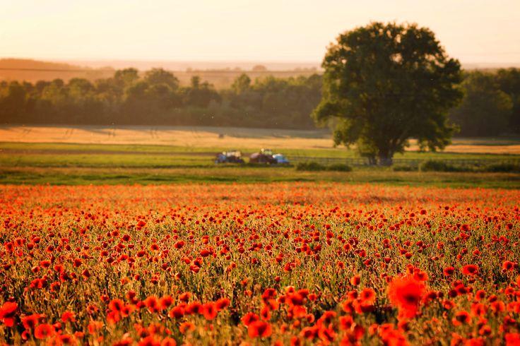 Poppy field - Landscape with beautiful poppí field