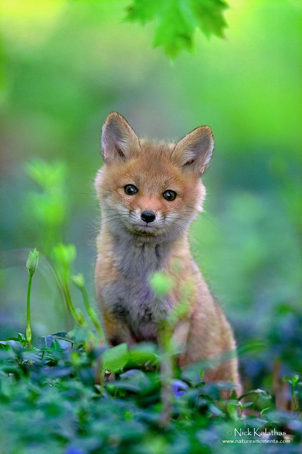 500px / Red Fox Pup in Spring Green by Nick Kalathas