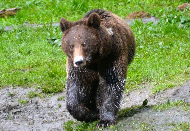 Brown bear, young female, Carpathian Mountains, Romania. #BrownBear #BrunBjørn #Romania #Carpathians #AlbatrosTravel #EuropeanWildlife #HenryRasmussen