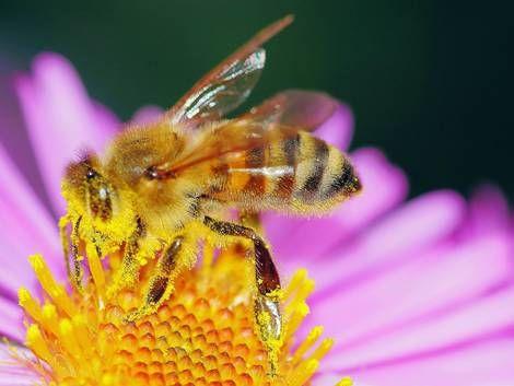 Biene sammelt Pollen auf Blüte