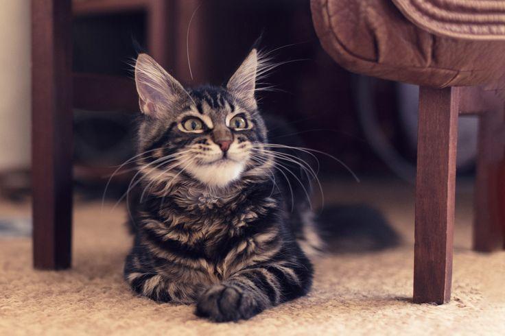 kitty Habibi Hannah, maine coon; cat