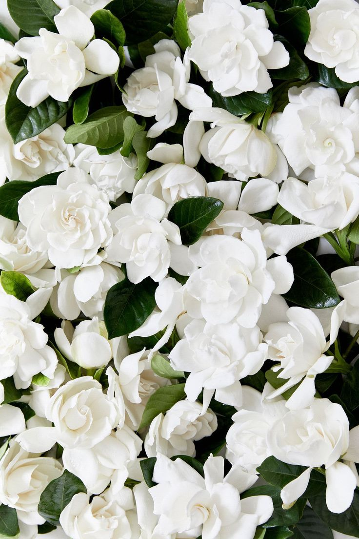 16 best fresh flower delivery images on pinterest gardenias fresh next day delivery high end gardenia vines and blooms for sale perfect for luxury gifts home floral arrangements and special occasions decoration izmirmasajfo Gallery