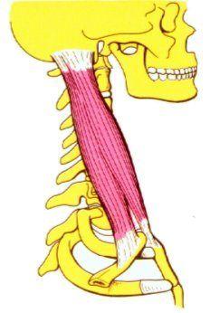 Cintura Escapular. Musculo Esternocleidomastoideo