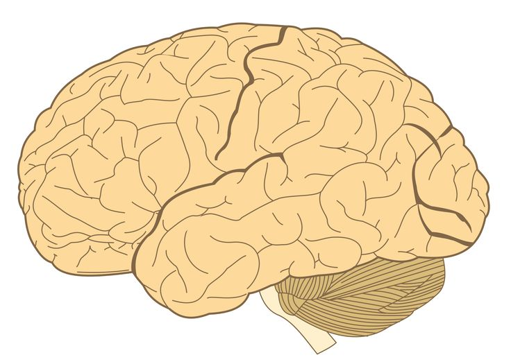The brain is divided into three principal parts: the brainstem, the cerebellum, and the cerebrum. The largest part of the brain is the cerebrum, and it is further divided into various lobes and structures. What