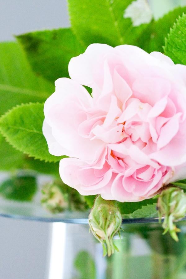 Garden, Flower, Rose, Pink rose, Katrine Anita H. Heggelund