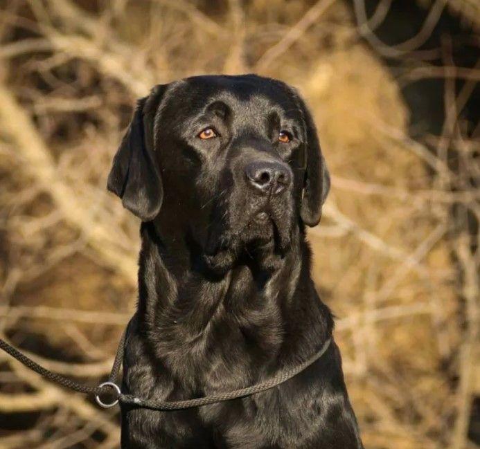60 Male Labrador Dog Names Dog Names Labrador Dog Labrador