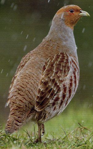 Grey Partridge -  A17 near the cafe with the Aircraft in the Car park - 7th Jan 2014