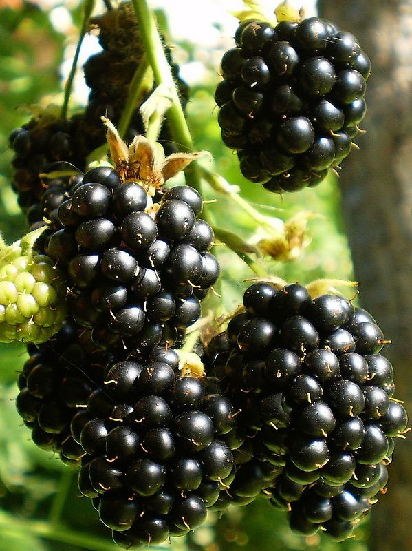 plump, sun-ripened blackberries