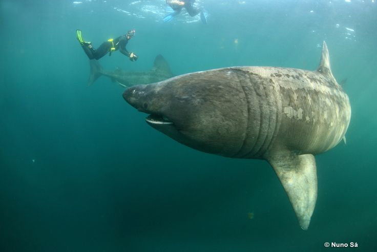 basking shark, photographed off the coast of Scotland. the perspective may be messed up here, although these sharks do grow to enormous sizes.