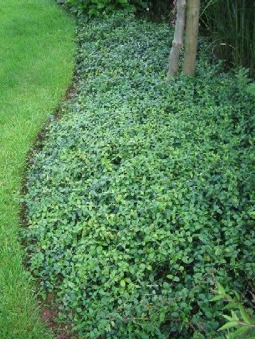 Vinca minor. Perennial groundcover. Zones 3 - 8. Full sun to shade.